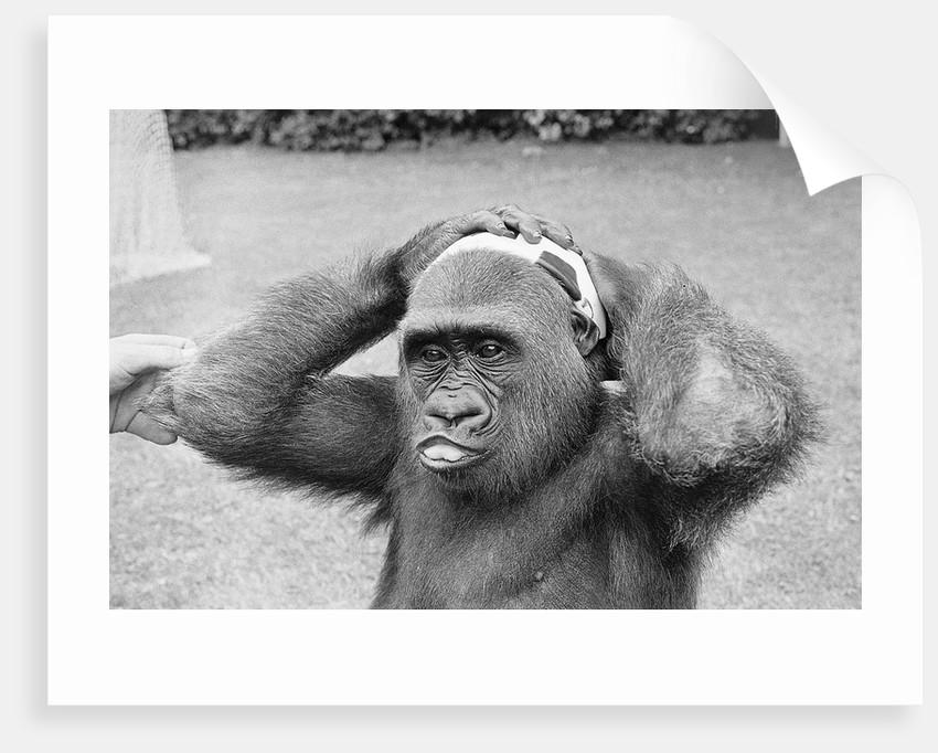 Gorilla Smashing Soccer Ball on Head by Corbis