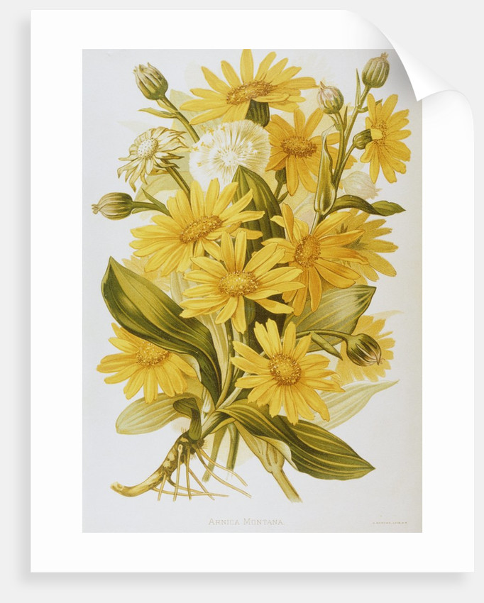 Illustration Depicting Arnica Montana Plants by Corbis