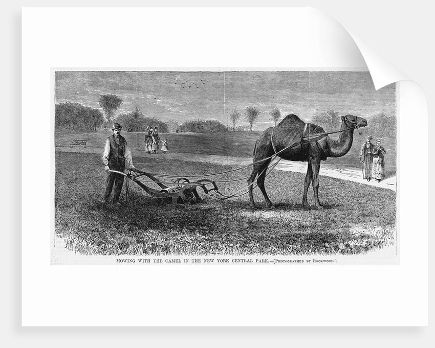 Mowing With the Camel in the New York Central Park by Corbis