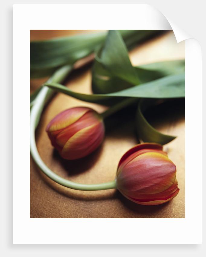 Orange Tulips by Corbis