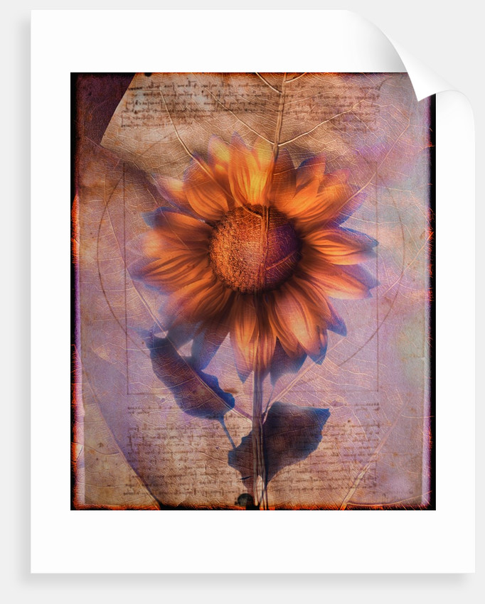 Sunflower and Text by Corbis