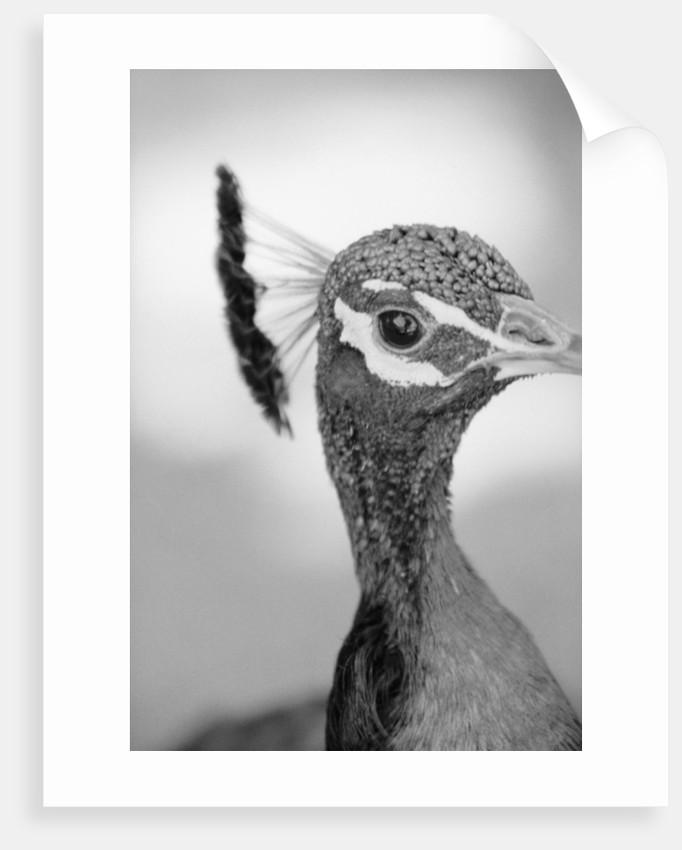 Peacock's Head by Corbis