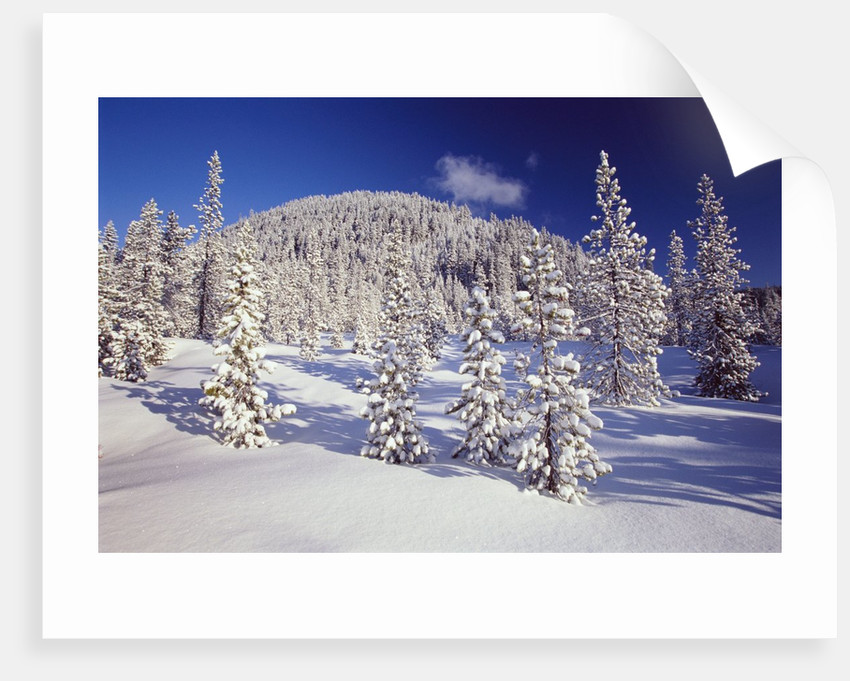 Evergreen Trees Covered in Snow by Corbis