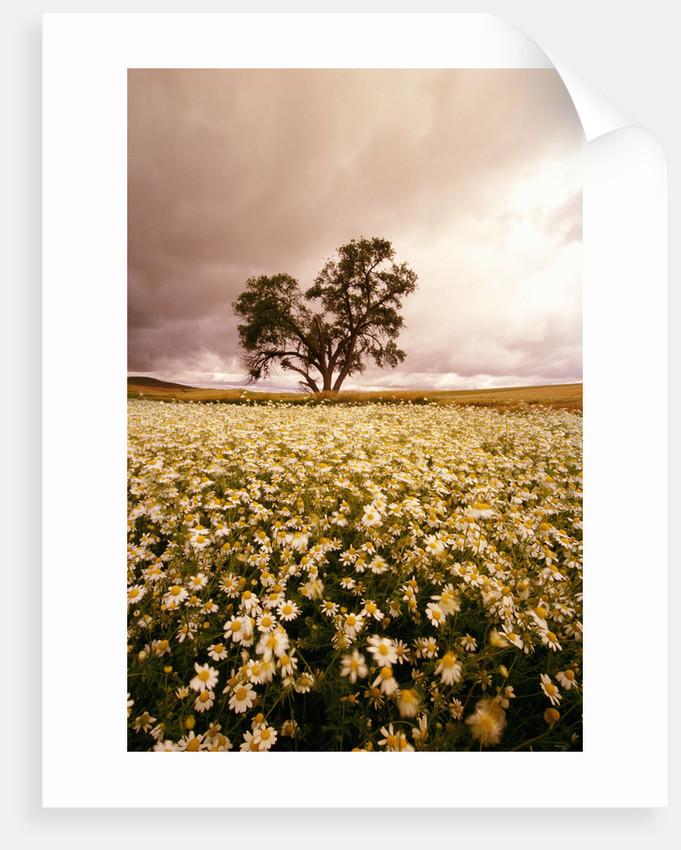 Daisy Field Under Ominous Skies by Corbis