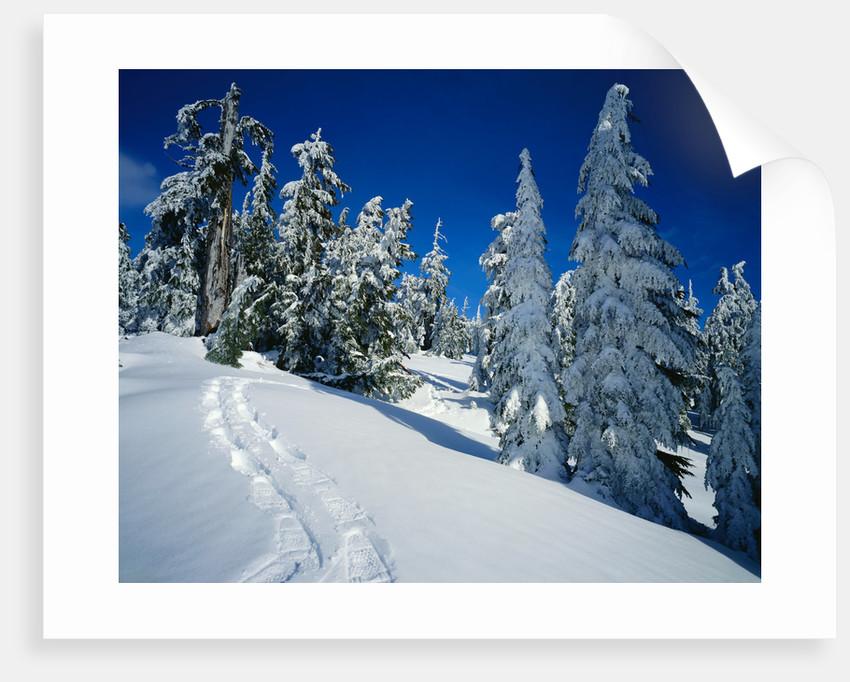 Snowshoe Tracks in Snowy Field by Corbis