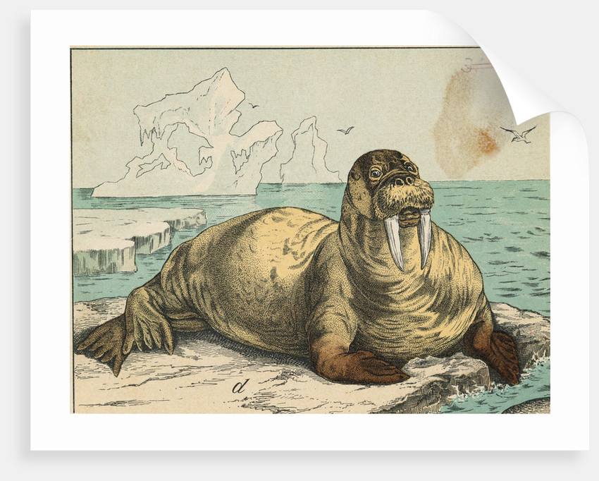 Tusked Walrus Basking on Ice by Corbis