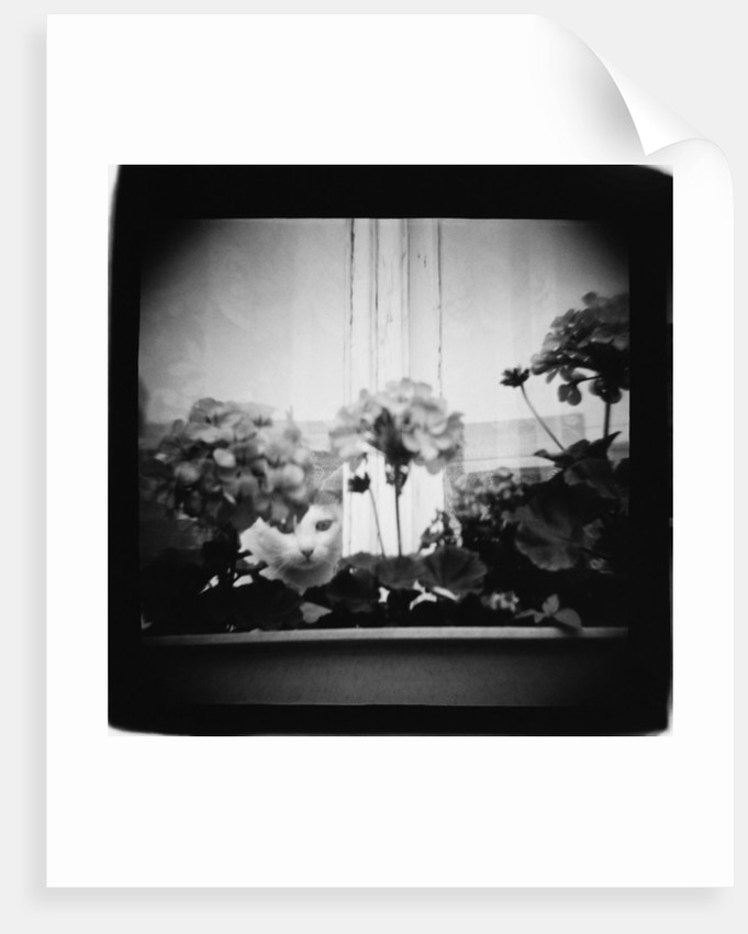 Cat in Window and Geraniums, Domesticity Annette Fournet by Corbis