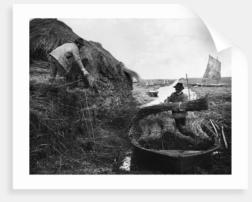 Farmers Gathering Reeds by Corbis