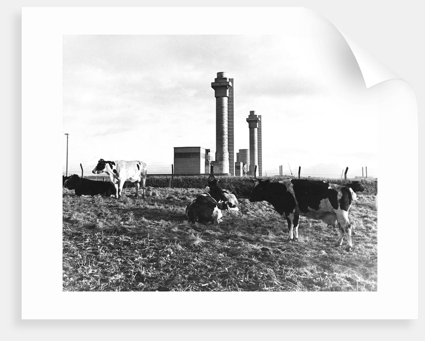 Cows Grazing Near Nuclear Power Plant by Corbis