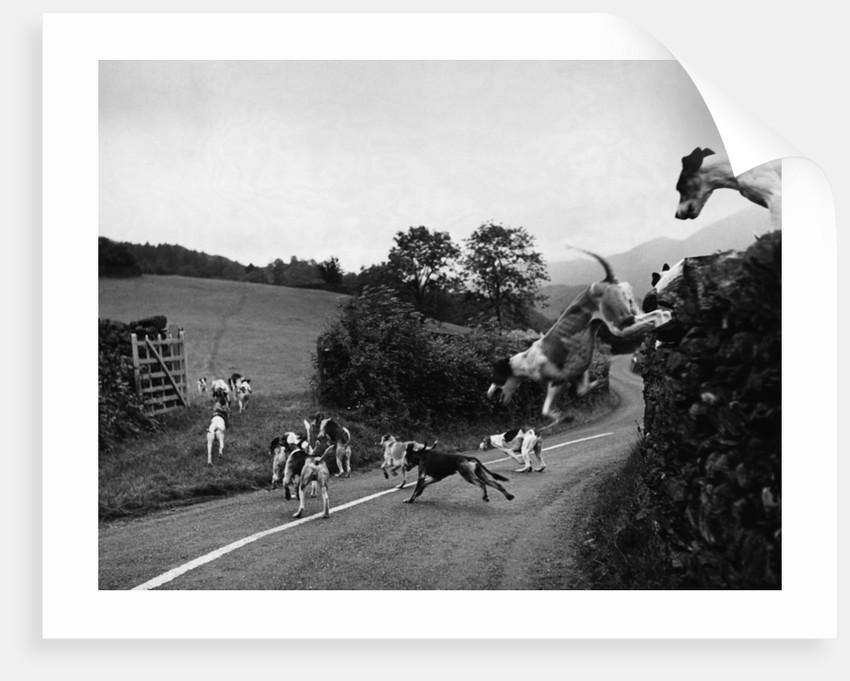 Hound Trailing by Corbis