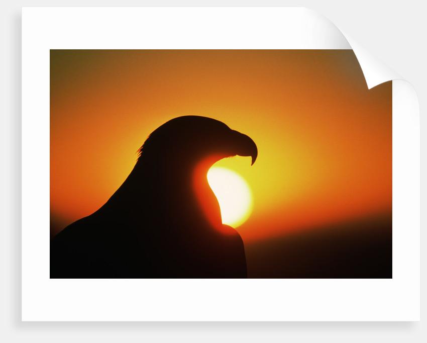 Golden Eagle at Sunrise by Corbis