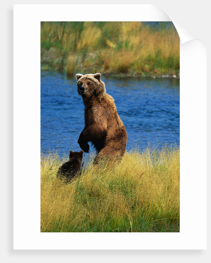 Brown Bear Sow and Cub by Corbis