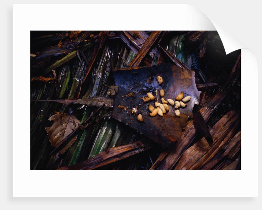 Edible Grubs are a Korowai Delicacy by Corbis
