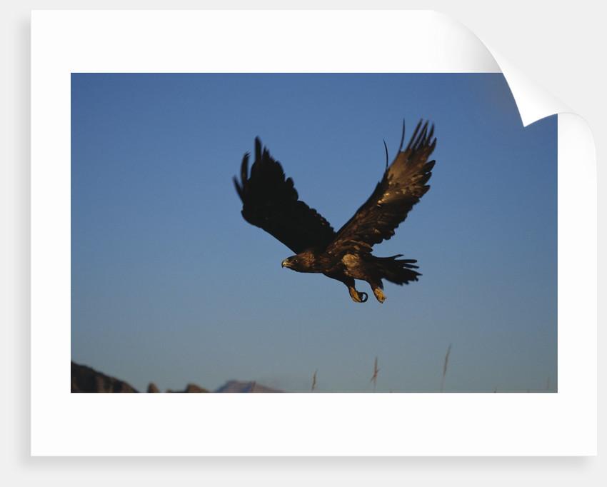Golden Eagle by Corbis