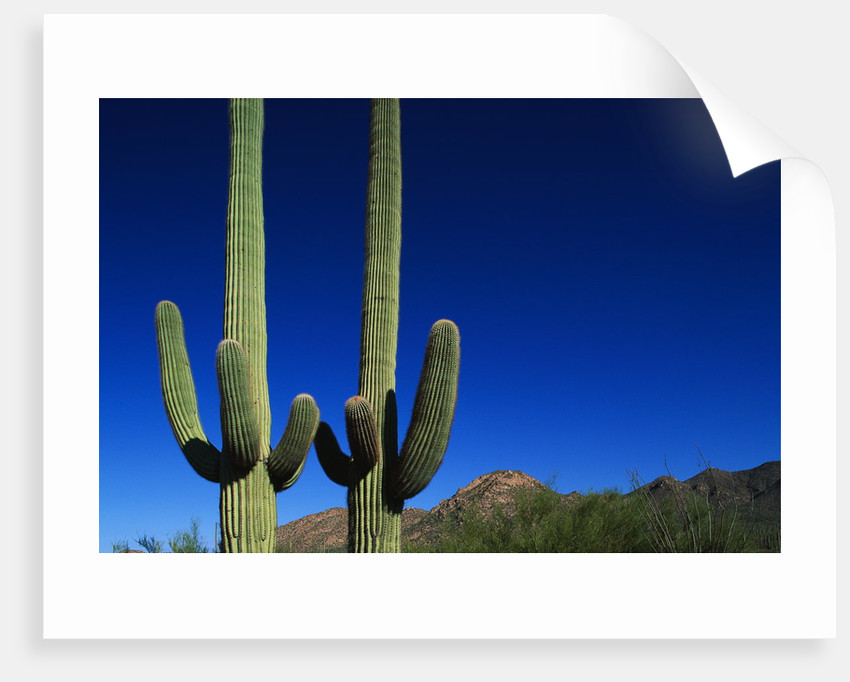 Cactuses at Sunrise by Corbis