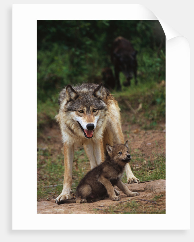 Grey Wolf with Pup by Corbis
