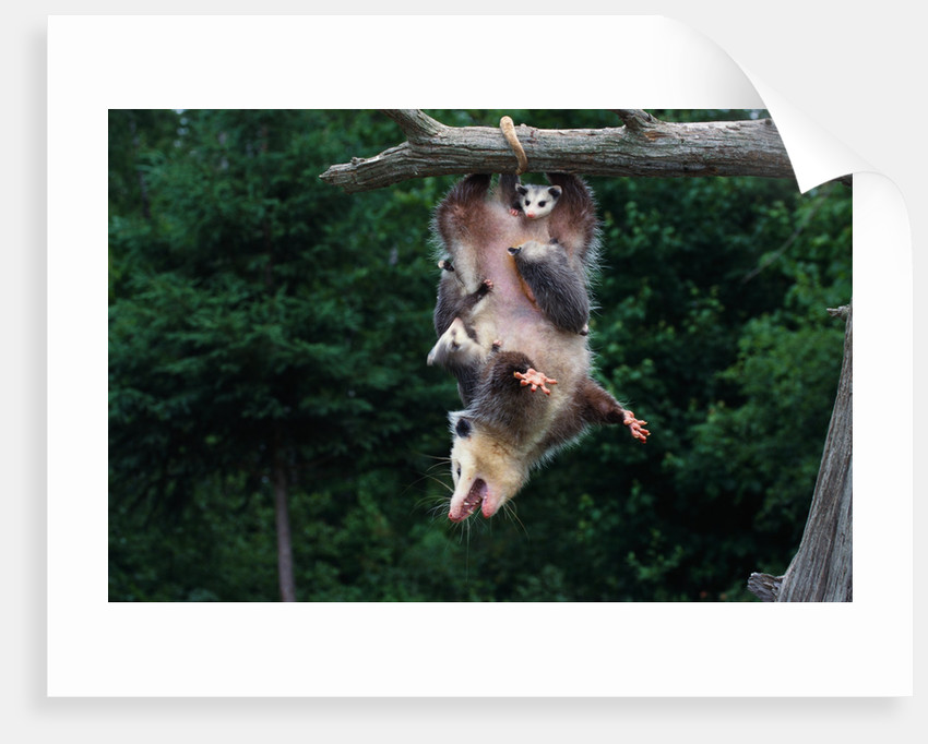American Opossum with Young by Corbis