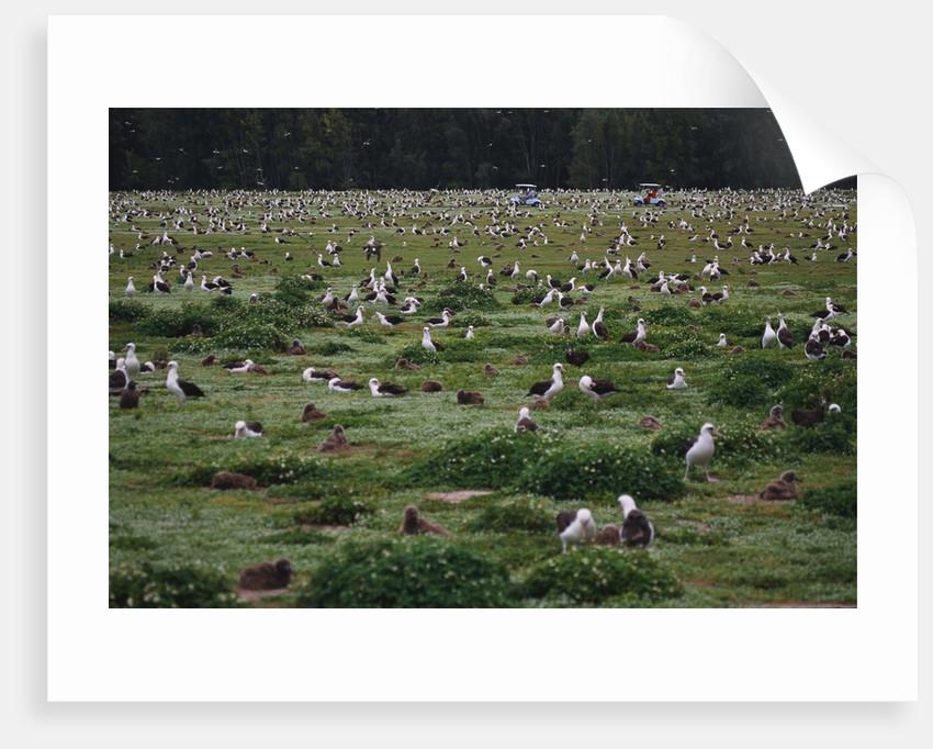Laysan Albatross Nesting Grounds by Corbis