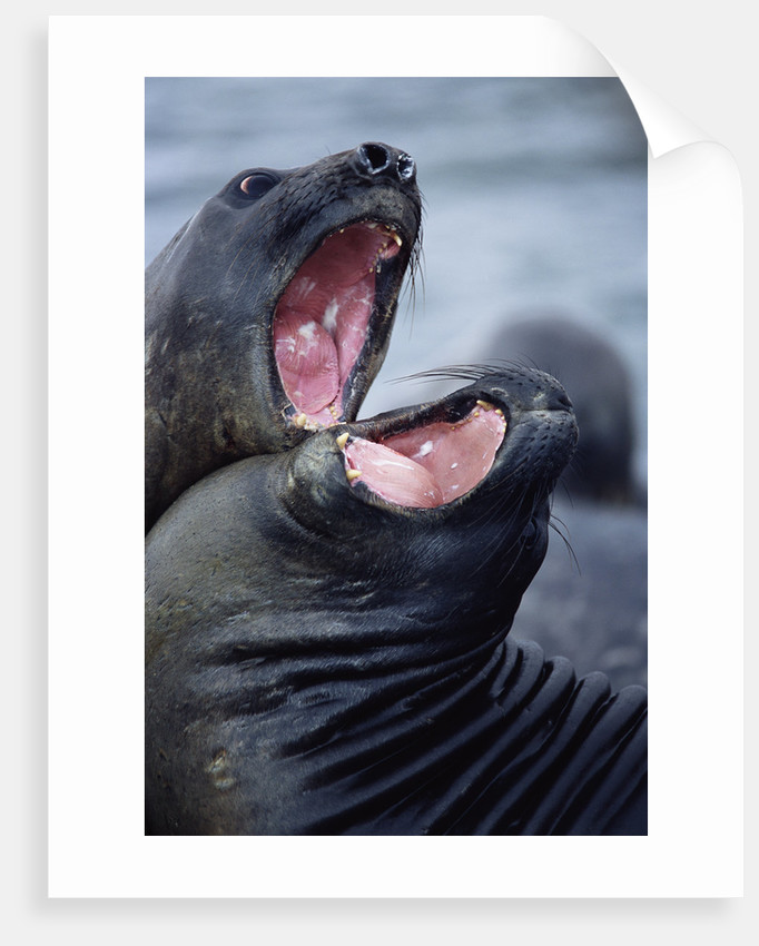 Elephant Seals Sparing by Corbis