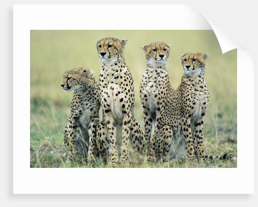 Four Cheetahs by Corbis
