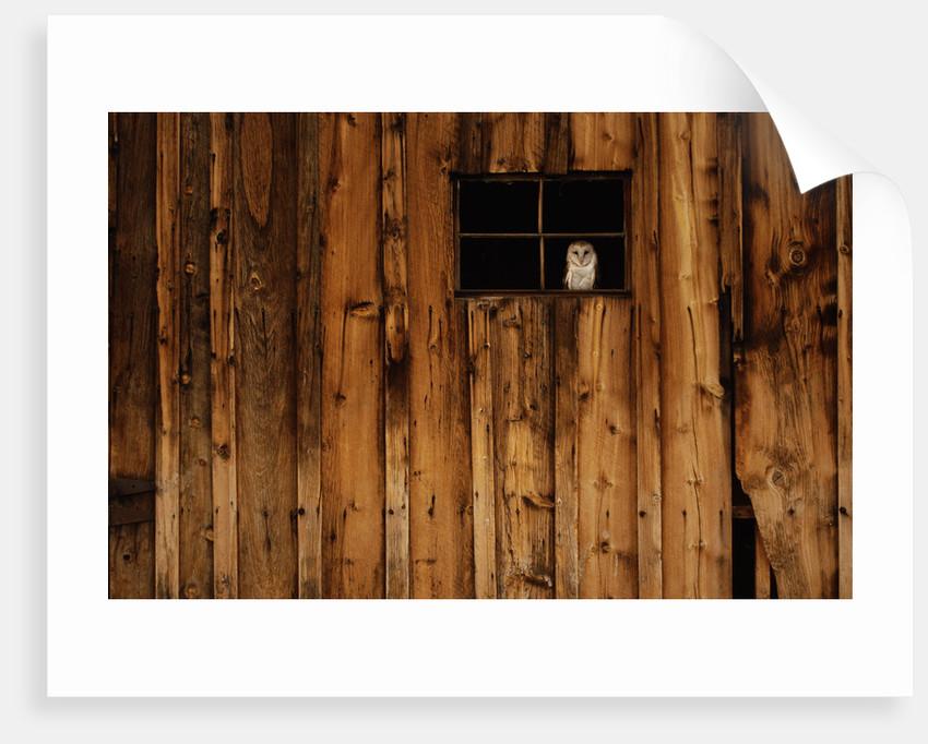 Barn Owl in Barn Window by Corbis