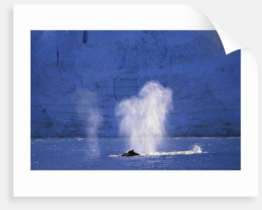 Humpback Whales Blowing in McFarlane Strait in Antarctica by Corbis