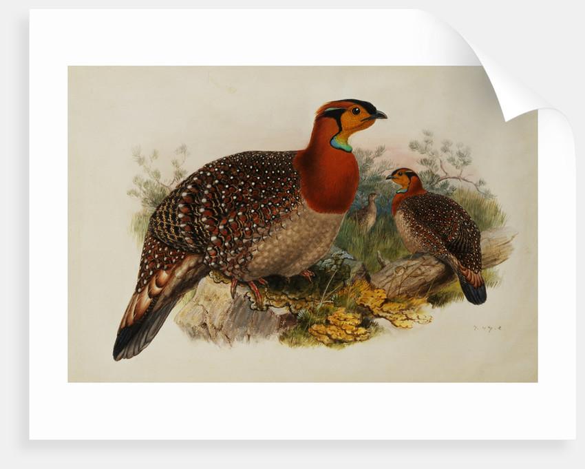 Blyths Horned Pheasant by Joseph Wolf
