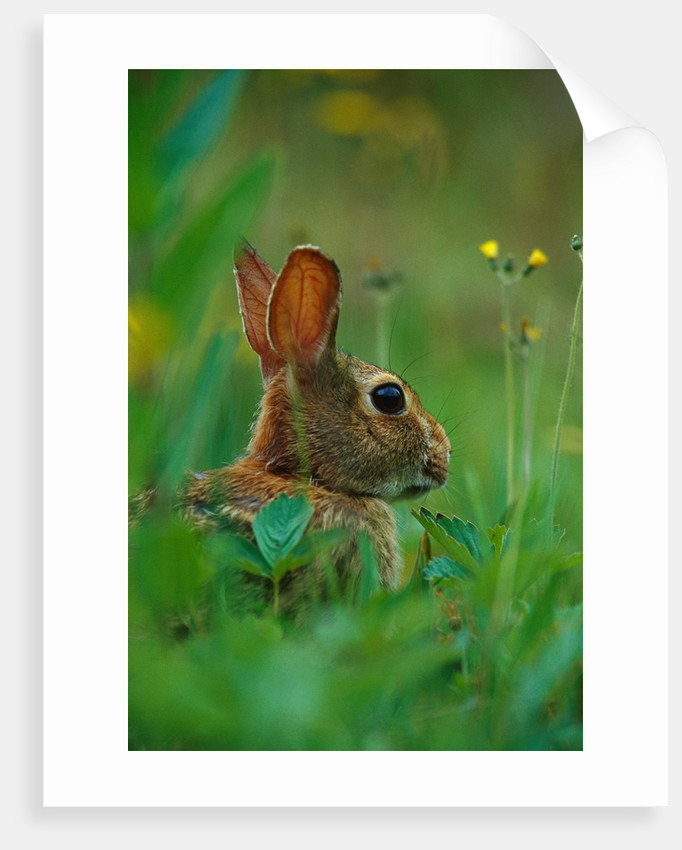 Cottontail Rabbit in the Grass by Corbis