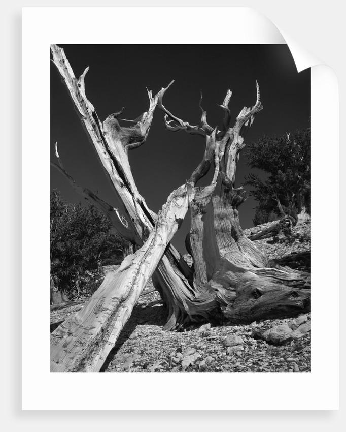 Bristlecone Pine Tree by Corbis