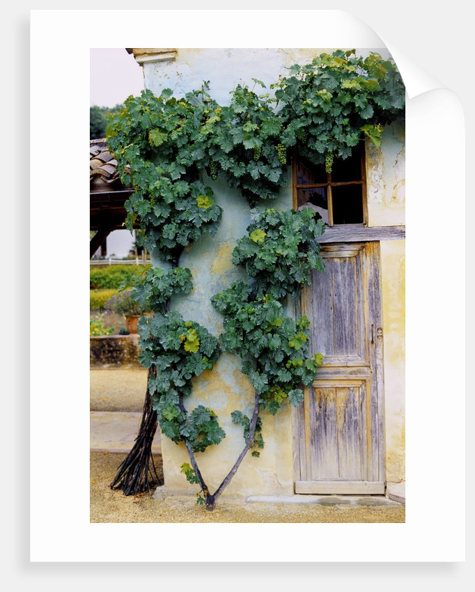Grapevines Growing on House by Corbis
