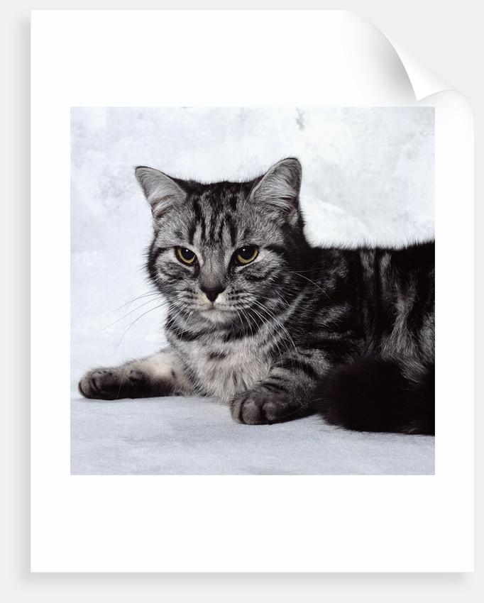 Grey Tabby Cat Lying Down by Corbis