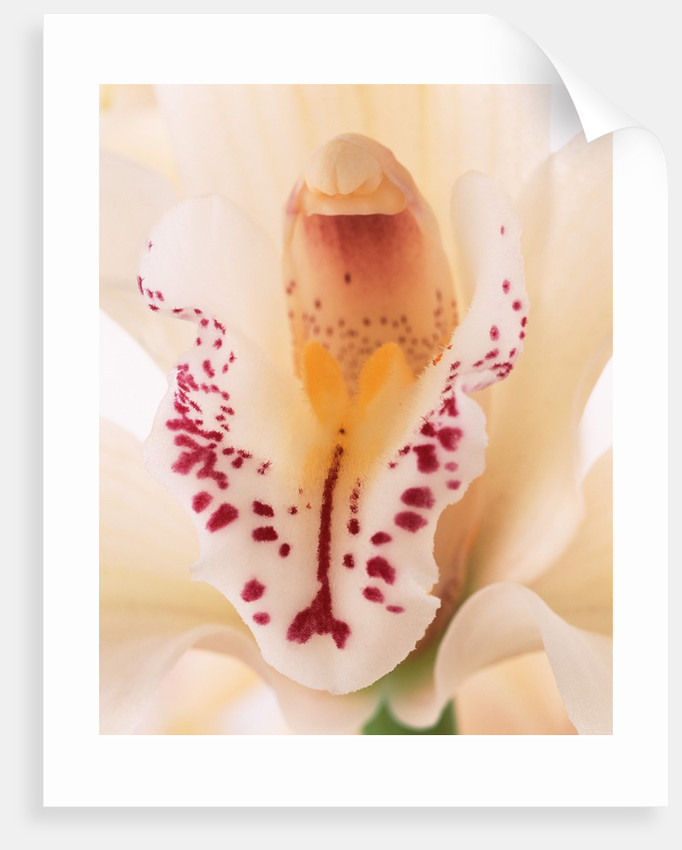 Blooming Orchid by Corbis