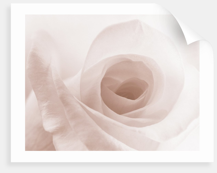 Blooming White Rose by Corbis