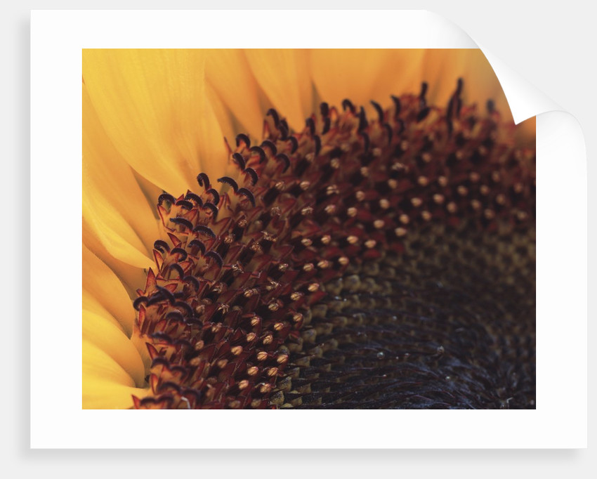 Sunflower Sepals by Corbis