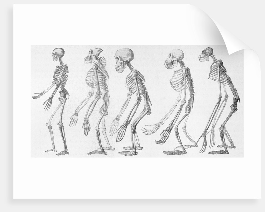Chart Showing Human Evolution by Corbis