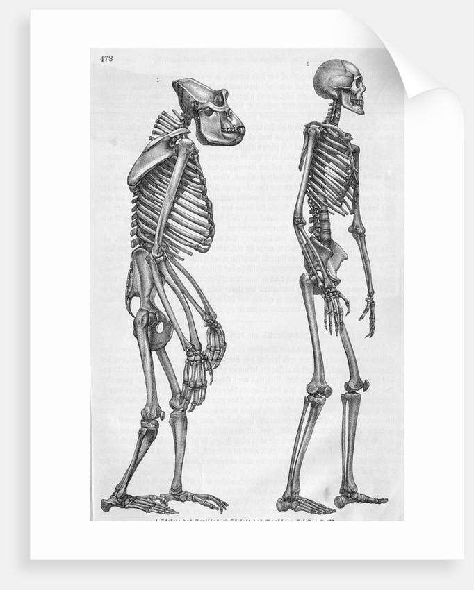 Illustration Depicting Skeleton Comparison of a Human and Gorilla ...