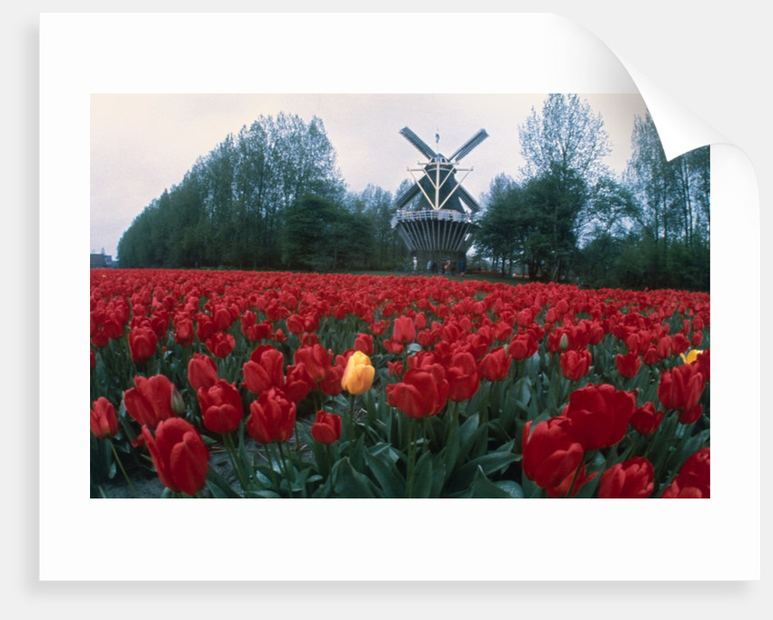 Field of Tulips with Windmill by Corbis