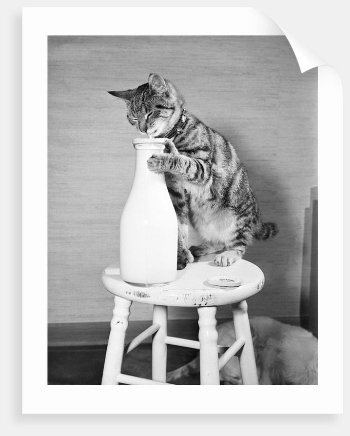Cat Standing on Stool with Milk Bottle by Corbis