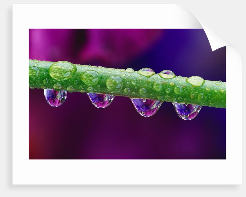 Dew Drops on Iris Stem by Corbis