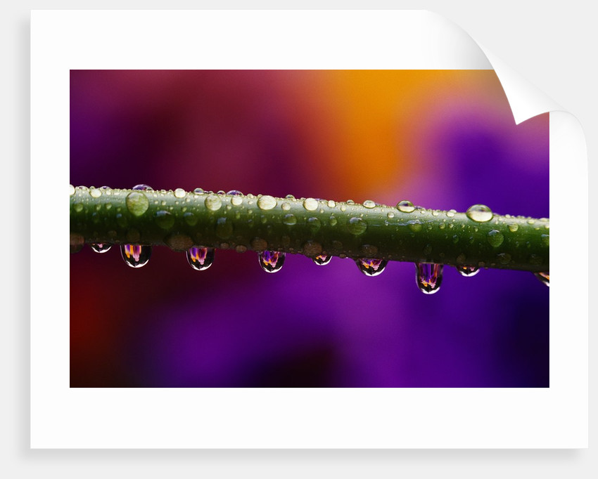 Dew Drops on Iris Stem by Corbis