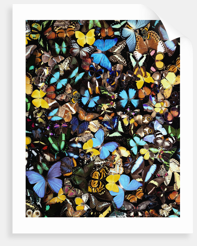 Butterflies by Corbis