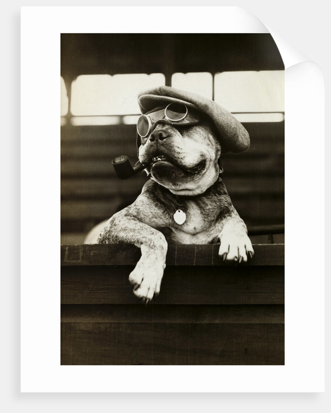 Dog Wearing Hat and Goggles by Corbis