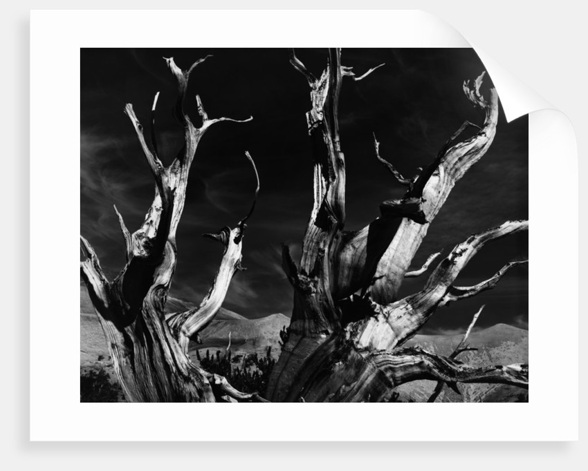Dead Tree in the Desert by Corbis