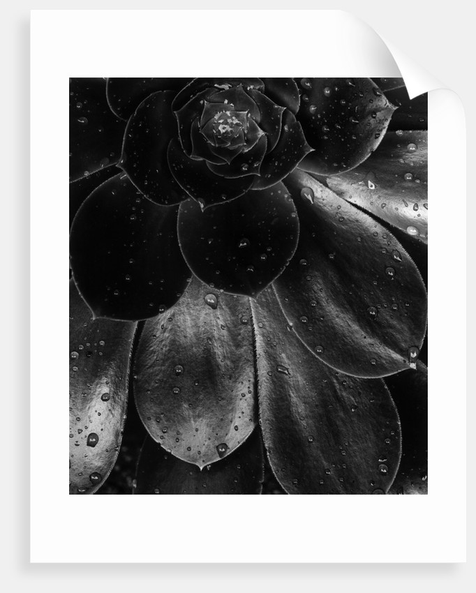 Droplets on a Succulent Plant by Corbis