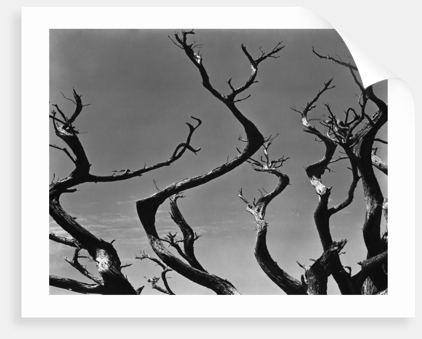 Twisting Tree Branches by Corbis