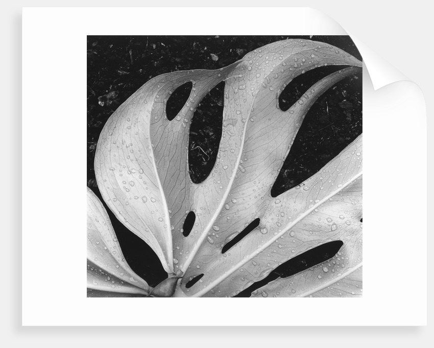 Leaf, Hilo, 1979 by Corbis
