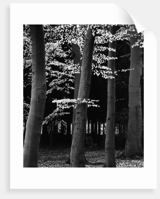 Beach Forest, Netherlands, 1971 by Corbis