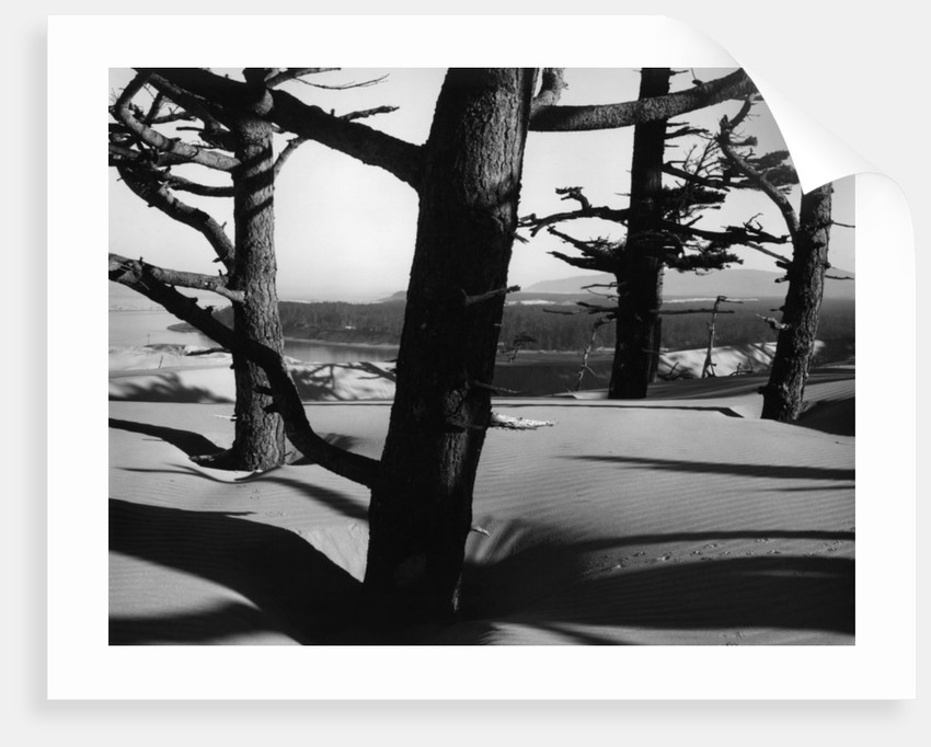 Dunes and Trees, Oregon, 1962 by Corbis