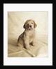 Golden Retriever Puppy by Corbis