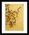Bees on honeycomb by Corbis